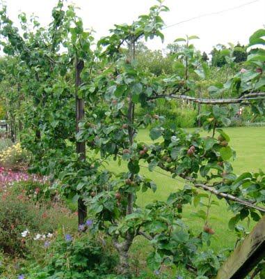 Živé ploty a stěny z ovocných dřevin a keřů