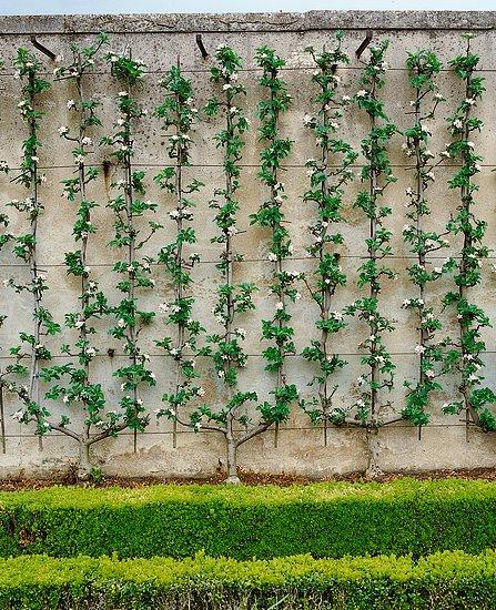 Pěstitelské tvary a stěny z ovocných stromů