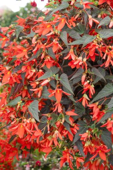 Jak pěstovat begónie? (Begonia pendula)