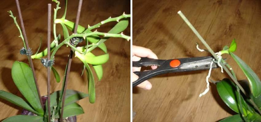 Množení orchideje postup