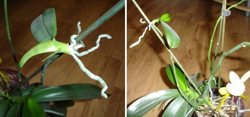 Množení orchideje