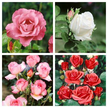 Jak pěčovat o růže
