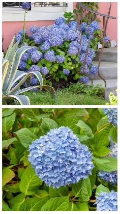 Jak vypěstovat modré hortenzie