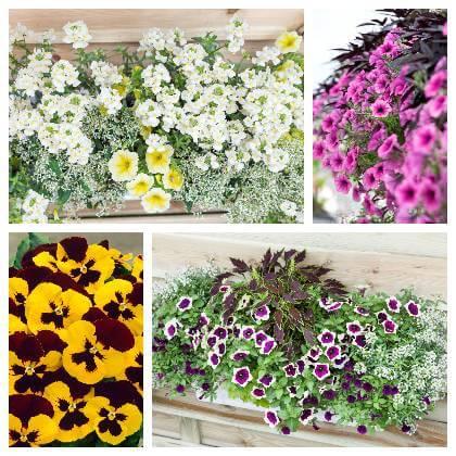 Balkonové květy