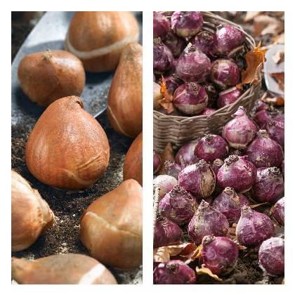 Cibulky jarních cibulovin