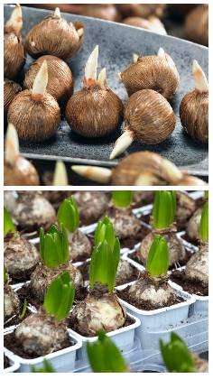 Cibule rostlin