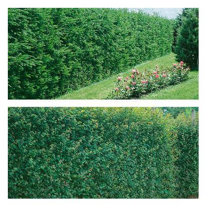Dřeviny na živý plot - přehled