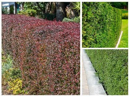 Rostliny vhodné na živý plot