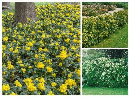 Rostliny vhodné na živý plot - kombinace
