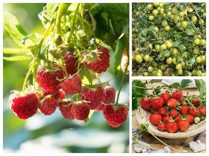 Jak pěstovat drobné ovoce