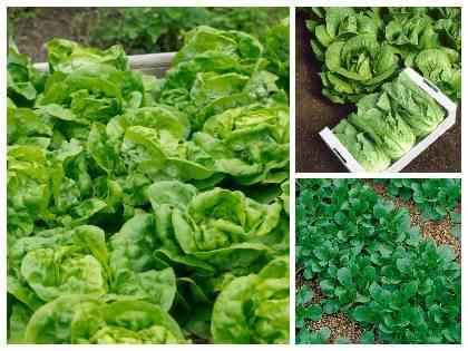 Druhy listové zeleniny