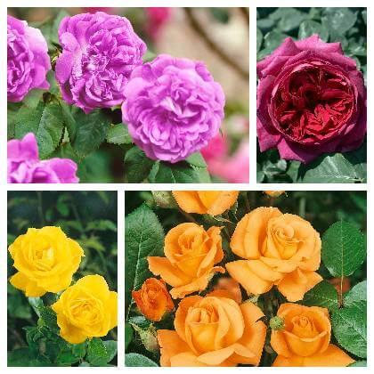 Růže druhy