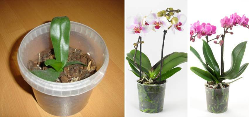 Orchidej Keiki