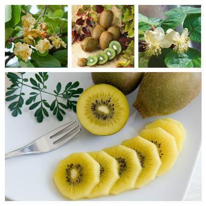 Pěstování kiwi