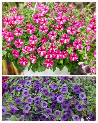 Květy do samozavlažovacích truhlíků