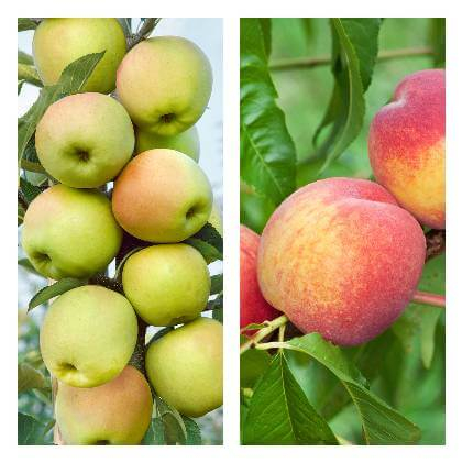 Letní řez ovocných dřevin