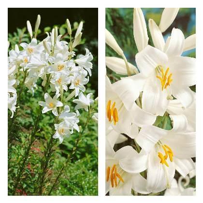 Bílá lilie