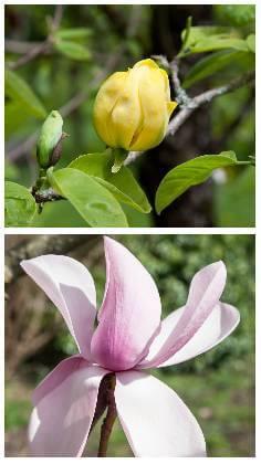 Magnolia druhy