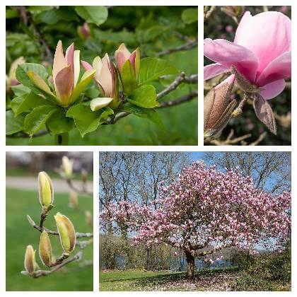 Pěstováni magnolie