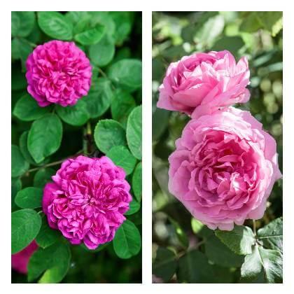 Návod na pěstování růží