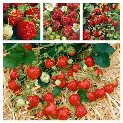 Množení jahod