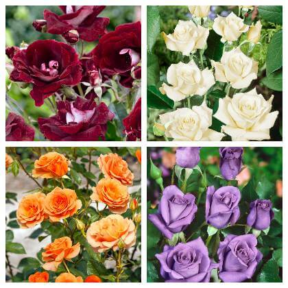 Odrody růží