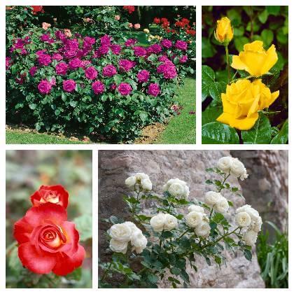 Jak pěstovat růže