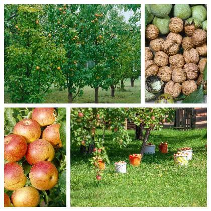 Stromy v ovocném sadě