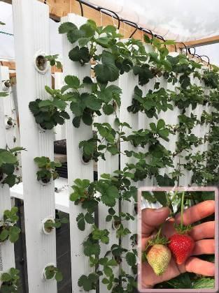 Vertikální pěstování jahod
