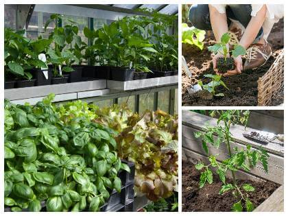 Zeleninové planty