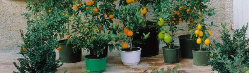 Ovocné stromy na balkon