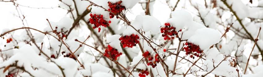 Kvetoucí keře mrazuvzdorné