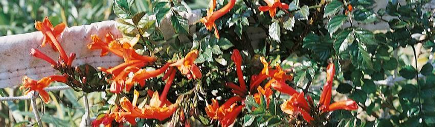Méně známé popínavé rostliny