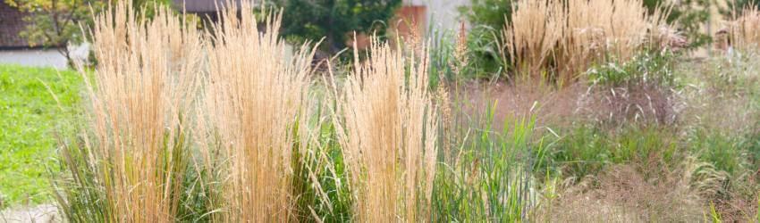Okrasné trávy pěstování
