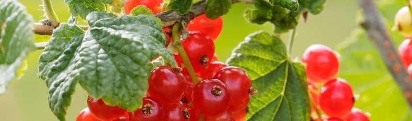 Drobné ovoce pěstování