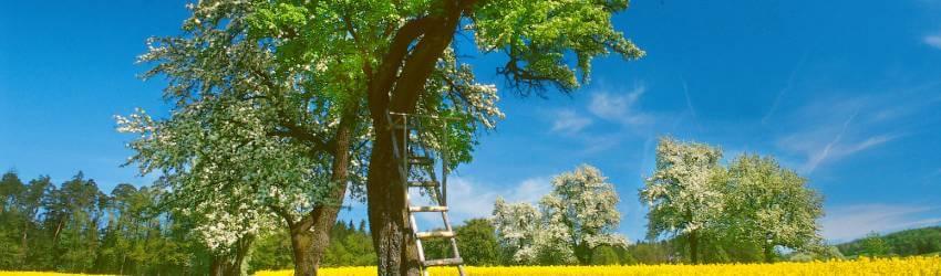 Pěstování ovocných stromů