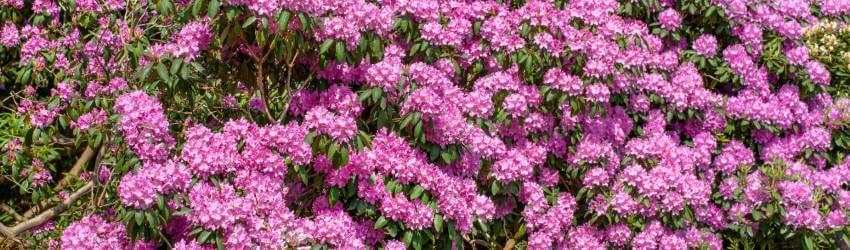 Pěstování rododendronů