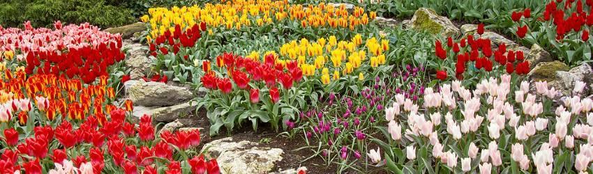 Cibuloviny kvetoucí na jaře