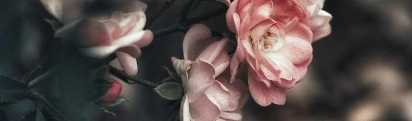 Růže na balkon