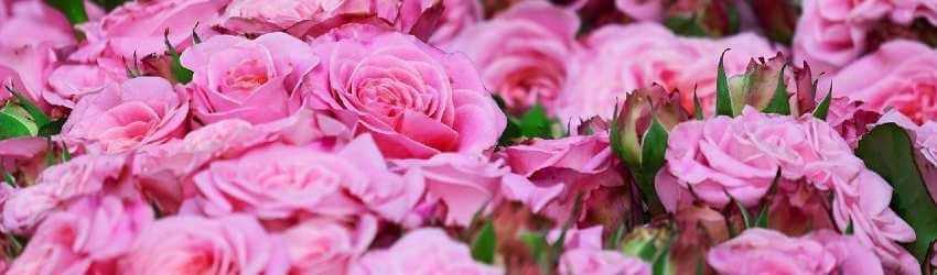 Pěstovaní růží