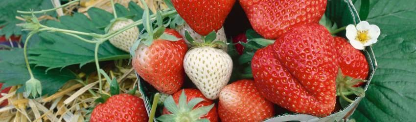 Jak se starat o jahody