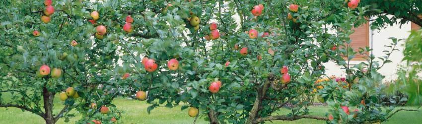 Péče o ovocné stromy