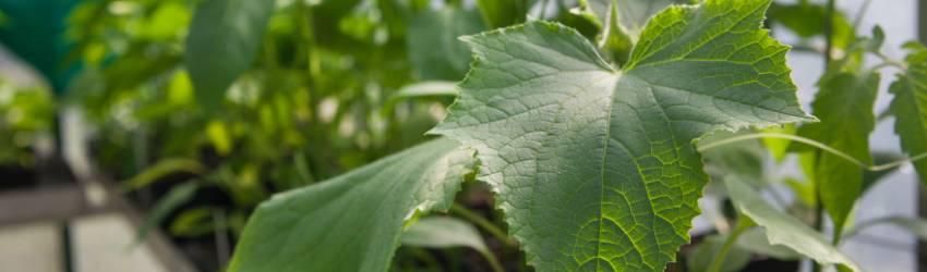 Péče o zeleninové planty