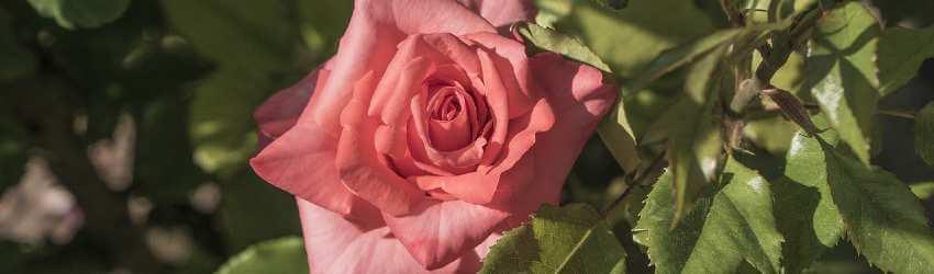 Péče o růže