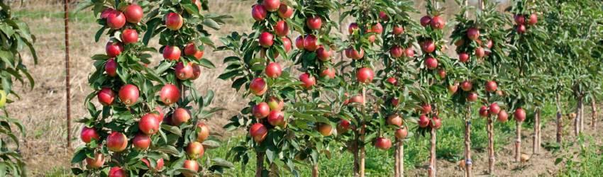 Sloupovité ovocné stromy do nádoby