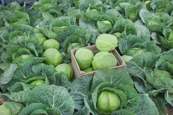Zelenina v listopadu