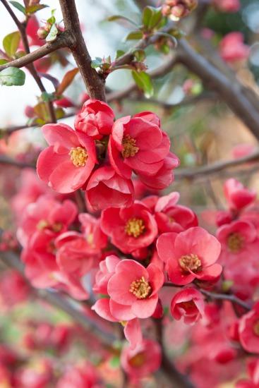 Kvetoucí dřeviny