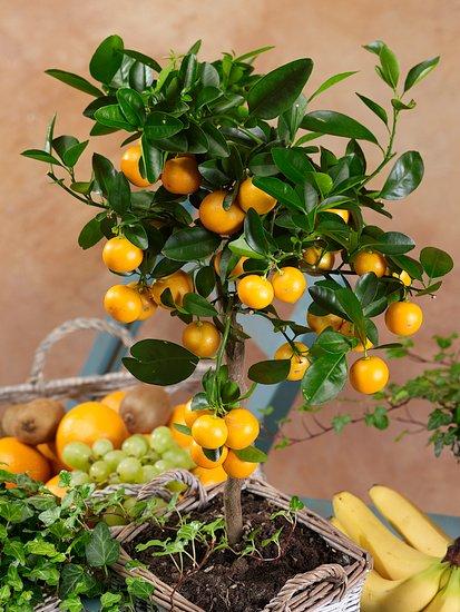 Jak úspěšně pěstovat citrusy