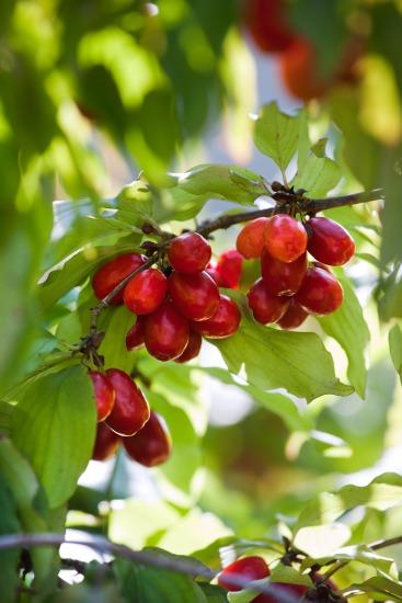 Netradiční drobné ovoce (Cornus mas)
