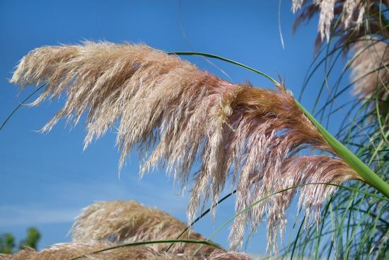 Okrasné trávy vyniknou i na terase (Cortaderia)